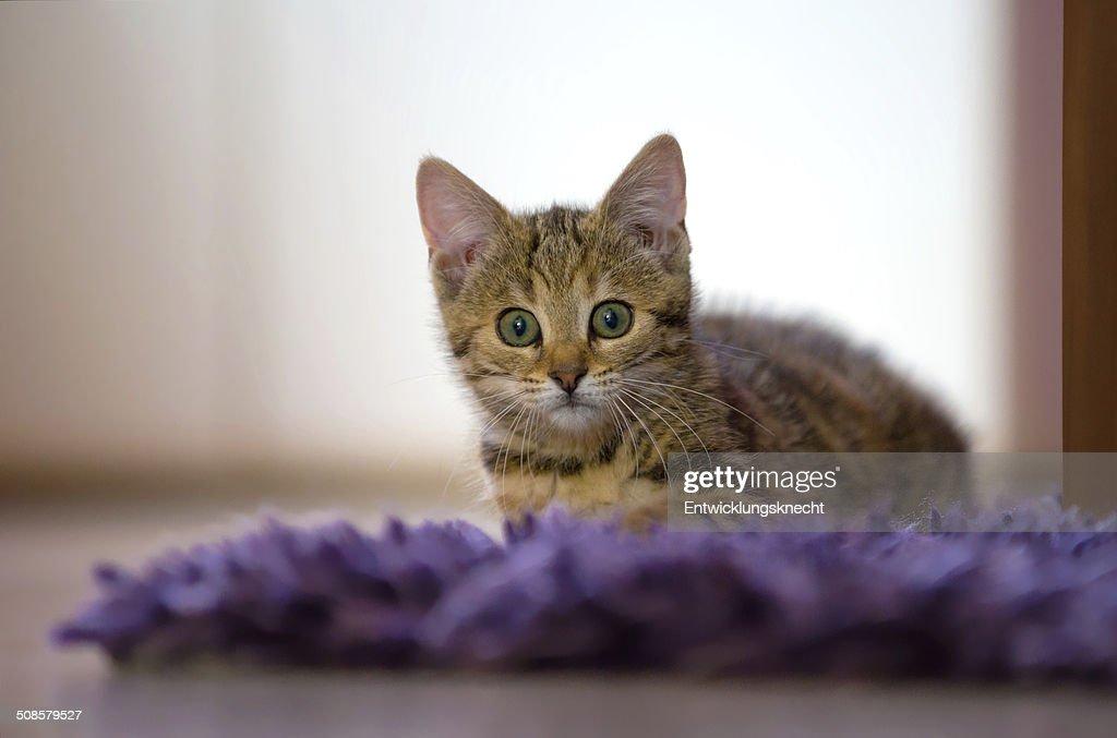 Kätzchen auf Plüschdecke : Stock Photo