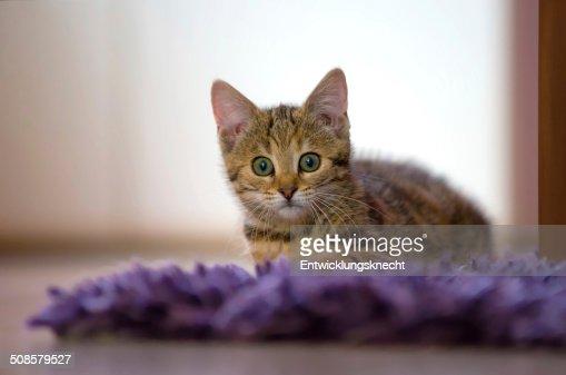 Kätzchen auf Plüschdecke : Stock-Foto