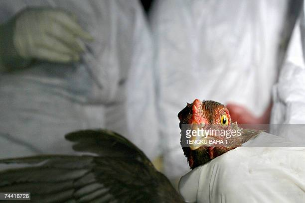 A captive chicken stares into the camera as veterinary services employees prepare to take an anal swab for an H5N1 avian influenza virus test during...
