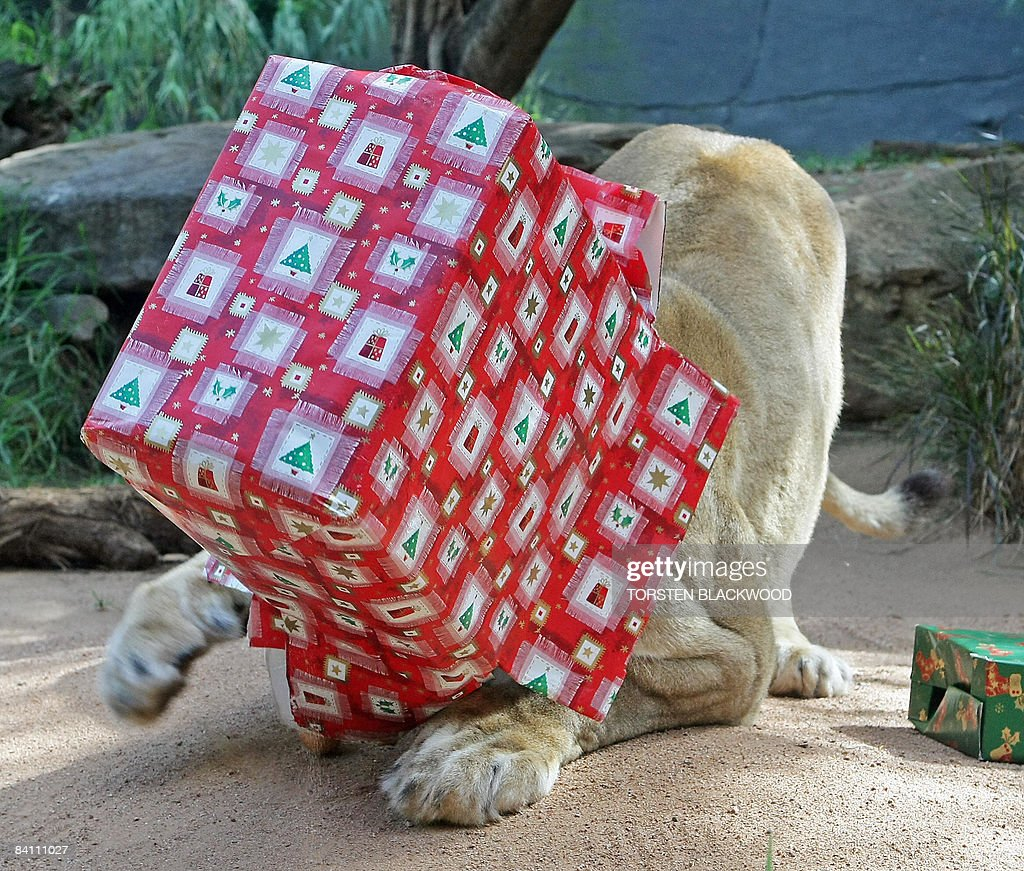 'Kuchani' the African lioness (Panthera leo) gets head her stuck in a Christmas package left in her Savannah themed habitat at Taronga Zoo in Sydney on December 23, 2008. The Christmas presents are part of the zoo's behavioural enrichment programme which teaches the animals to forage and work for their meals. AFP PHOTO/Torsten BLACKWOOD