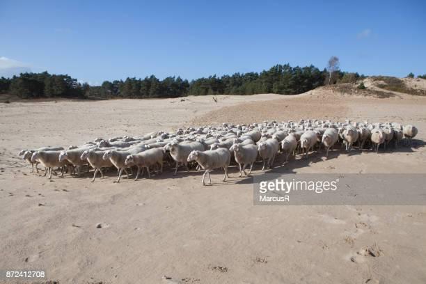 Kudde trekt over het zand