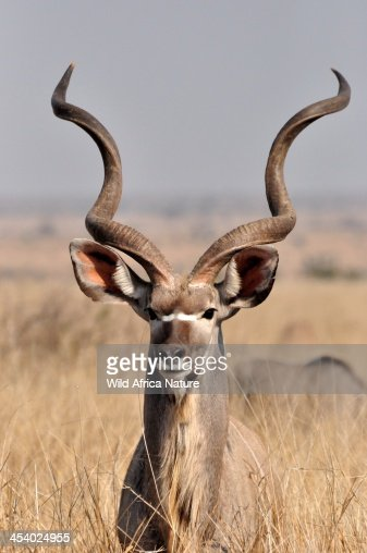 Kudu bull in high grass