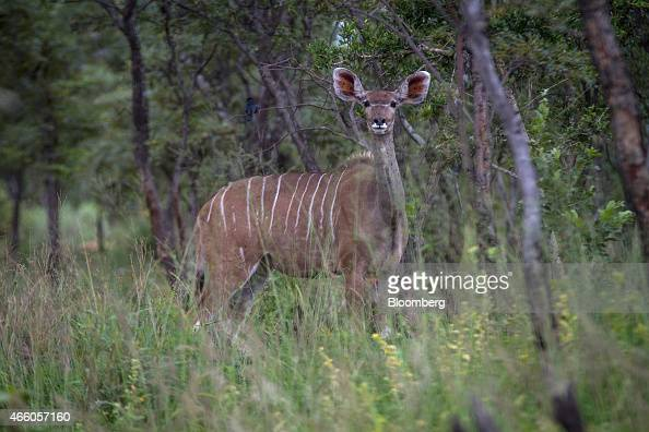 A kudu doe grazes on farmland operated by Golden Breeders in Bela Bela Limpopo province South Africa on Thursday Jan 29 2015 As the hunting industry...