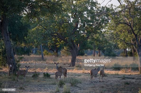 Kudu females with young in South Luangwa National Park in eastern Zambia