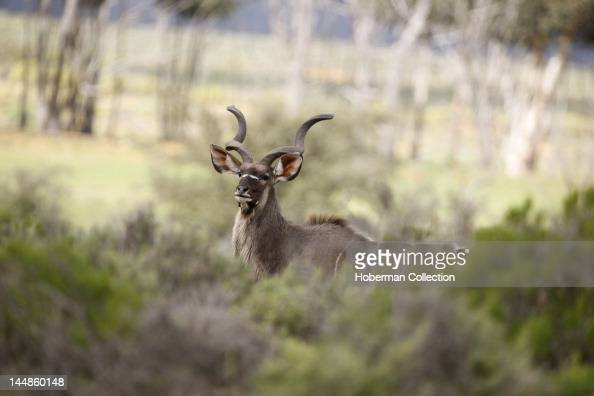 Kudu Inverdoon Game Reserve Karoo South Africa
