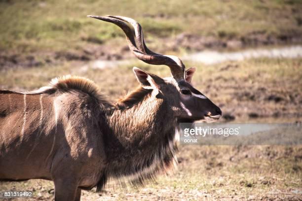Kudu - male