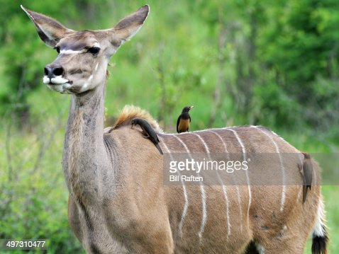 Kudu & Red & Yellow billed Oxpeckers