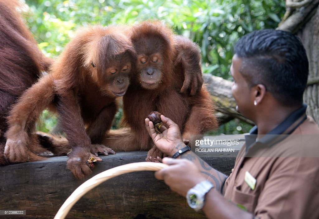 Kumaran Sesshe head keeper of great apes with Wild Reserves Singapore feeds orangutan newly named Ah Meng with its foster brother Bino at the...