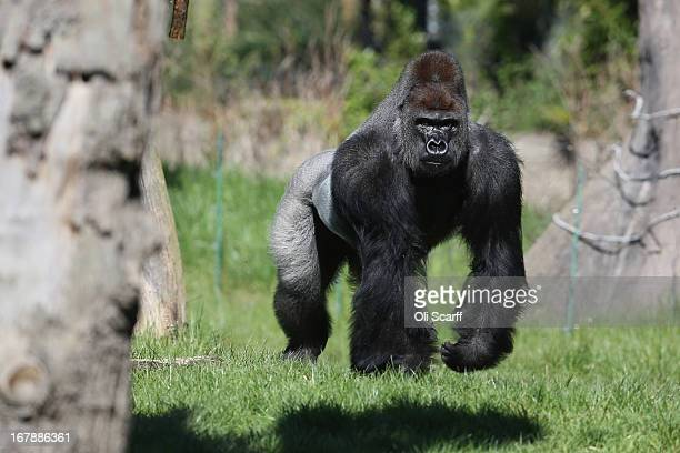 Kumbuka a 15yearold western lowland gorilla explores his new enclosure in ZSL London Zoo on May 2 2013 in London England The silverback male who...