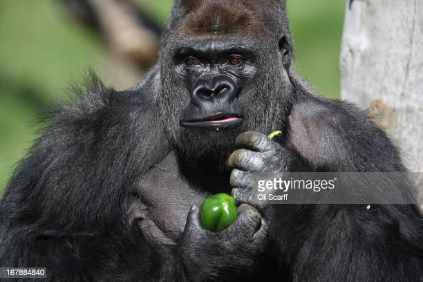 Kumbuka a 15yearold western lowland gorilla holds a green pepper as he explores his new enclosure in ZSL London Zoo on May 2 2013 in London England...