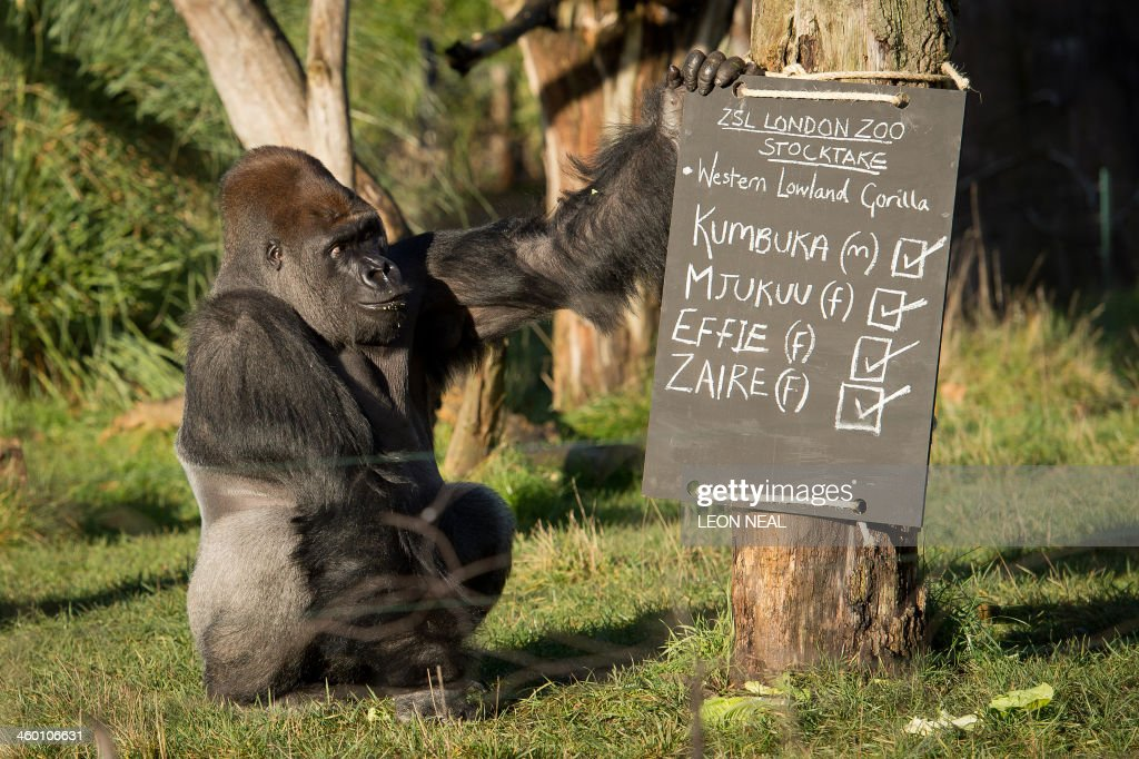 Kumbuka, a male western lowland silverback gorilla, touches a chalk-board during a photocall for London Zoo's annual stocktake in central London, on January 2, 2014. The compulsory annual count is required as part of the zoo's licence.