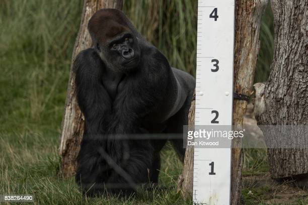Kumbuka a Silverback Western Lowland Gorilla stands next to a large measuring stick during a photocall to promote the London Zoo annual 'weighin'...