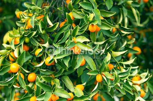 kumquat tree branch stock photo thinkstock