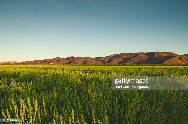 Kununurra crop fields