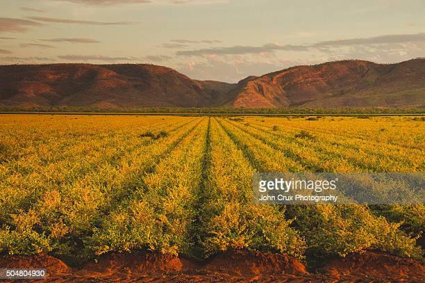 Kununurra crops