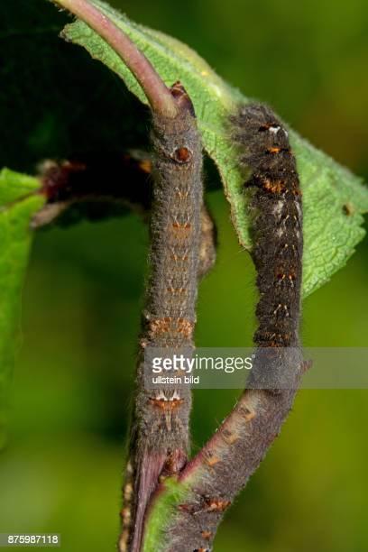 Kupferglucke zwei Raupen an braunem Zweig mit gruenem Blatt sitzend hochsehend