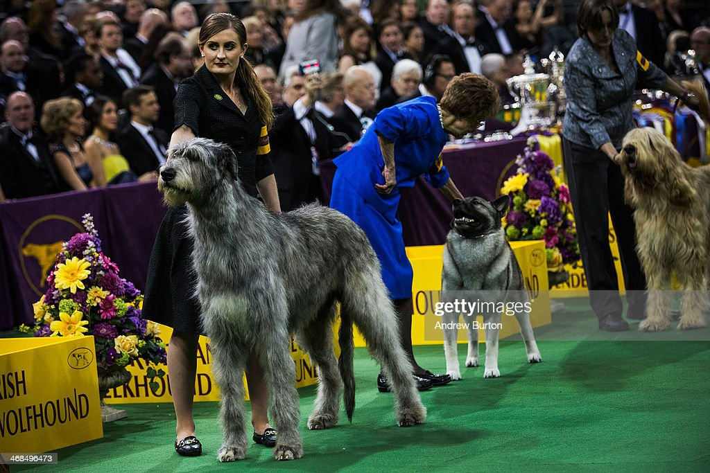 Kuriann Of First Avenue, an Irish wolfhound, competes during the Westminster Dog Show on February 10, 2014 in New York City. The annual dog show showcases the best dogs from around world for the next two days in New York.