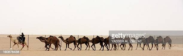 A Kuwaiti man leads a flock of camels during a competition in alSalmi district a desert area 120 kms west of Kuwait City on February 7 held as part...