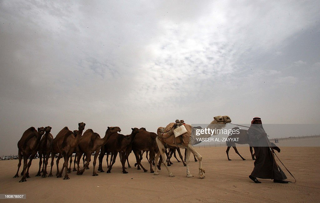Kuwaiti man leads a flock of camels during a competition in al-Salmi district, a desert area 120 kms west of Kuwait City, on February 7, 2013, held as part of the ongoing Popular Heritage Festival. The one-month event is held annually to commemorate popular activities in Kuwaiti heritage, featuring camel races, falcons contests, fishing competitions and others.