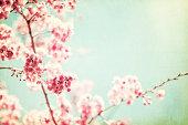 Kwanzan cherry tree flowers on branch