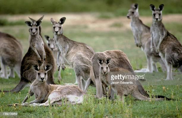 An alert mob of Eastern Grey Kangaroos standing and lying down.