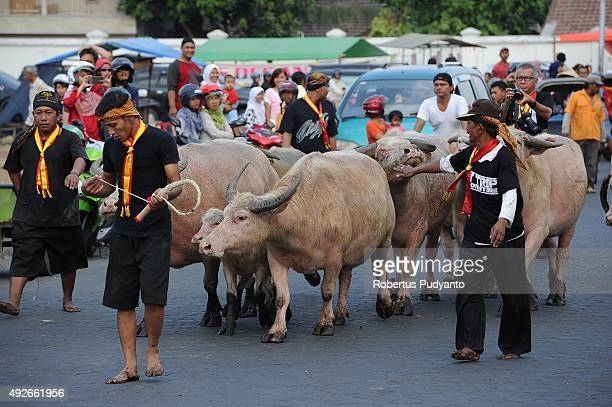 Kyai Slamet white albino buffaloes are herded into old cage as part of First Suro Procession to celebrate the 1437th AlHijra Islamic New Year eve at...