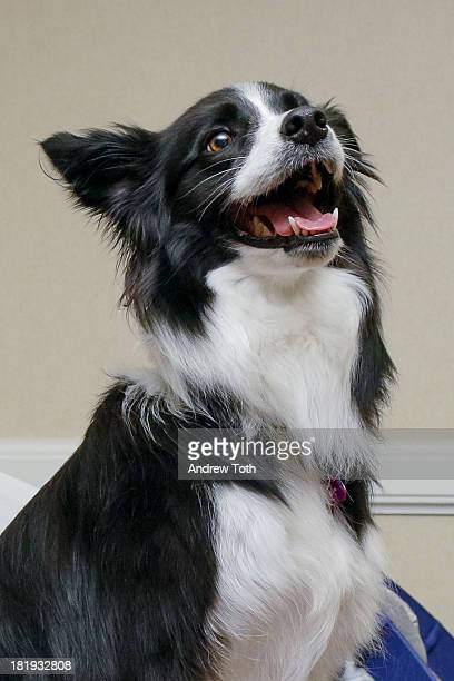 Kyan the Border Collie attends the AKC Meet The Breeds Sneak Peek at the New York Marriott East Side Hotel on September 26 2013 in New York City