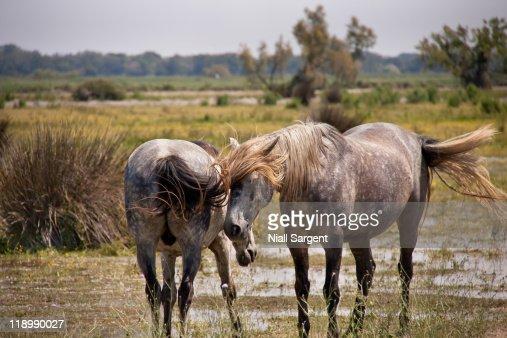 La Camargue horses