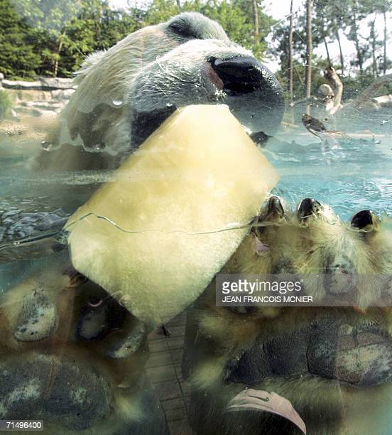 A polar bear refreshes with a giant mackerel sauce flavour ice cube 21 July 2006 at the La Fleche zoo western France This treatment was set up by the...