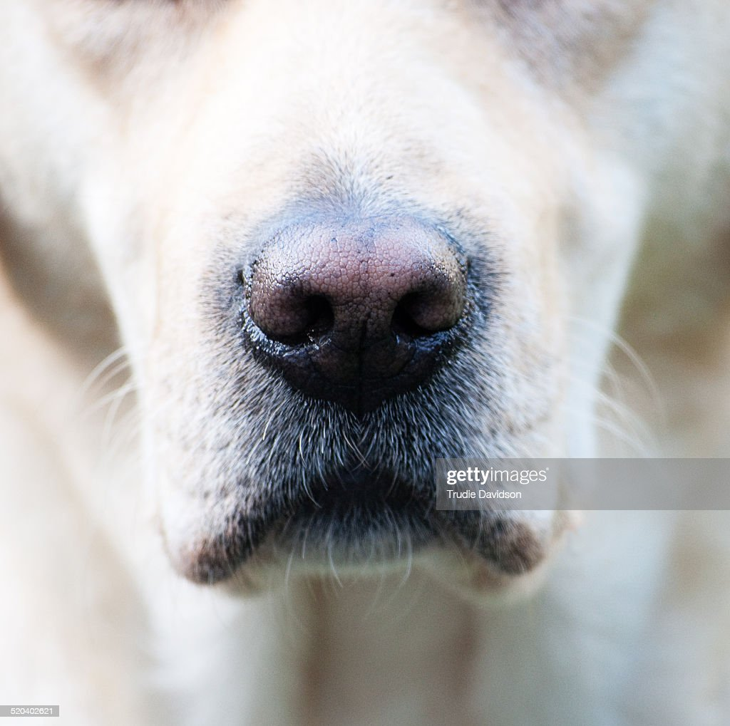Lab Nose