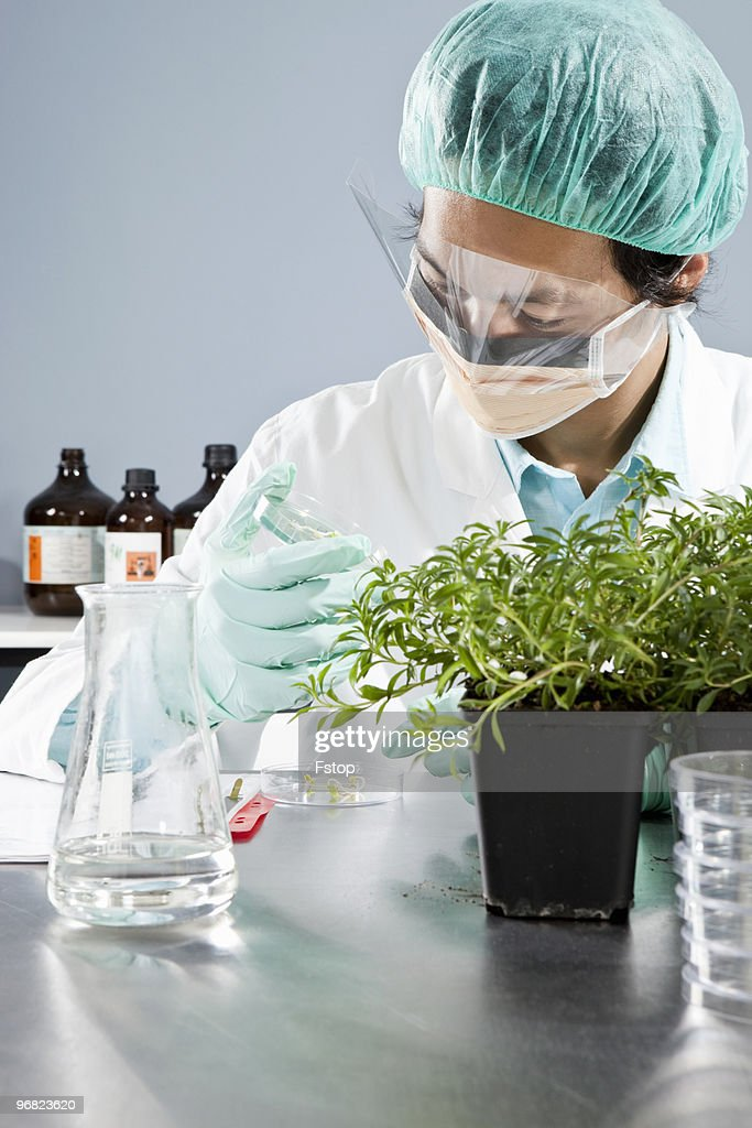A lab technician inspecting a plant in a Petri dis : Stock Photo
