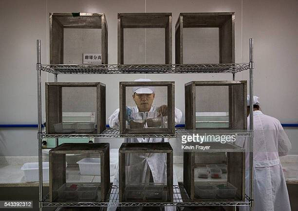 A lab technician places mosquito pupa into cages in the Mass Production Facility at the Sun YatSen UniversityMichigan University Joint Center of...