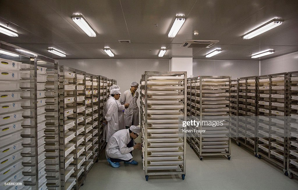 Lab technicians and researchers look at trays of mosquito larvae in the Mass Production Facility at the Sun YatSen UniversityMichigan University...