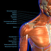 Labeled human anatomy diagram of man's neck and shoulder muscles in an anterior view on a black background.