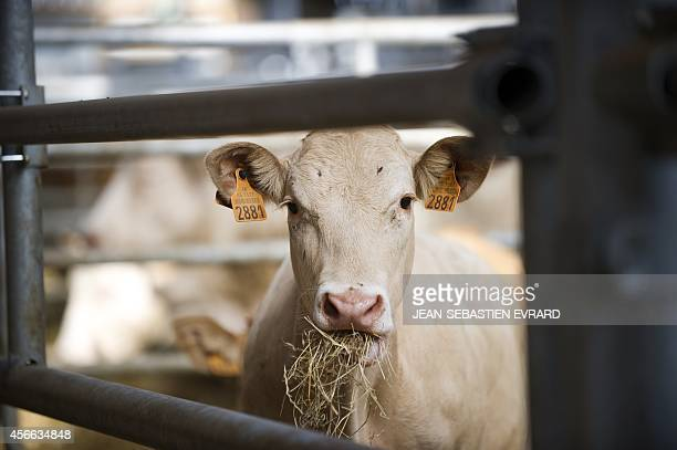 A labeled calf eats hay in a stall in a livestock sorting centre on September 9 2014 in SaintLaurentsurSevre western France AFP PHOTO / JEANSEBASTIEN...