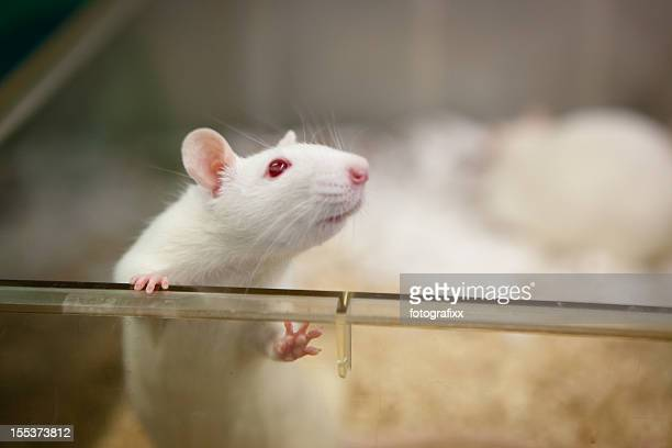 laboratory rat with red eyes looks out of plastic cage