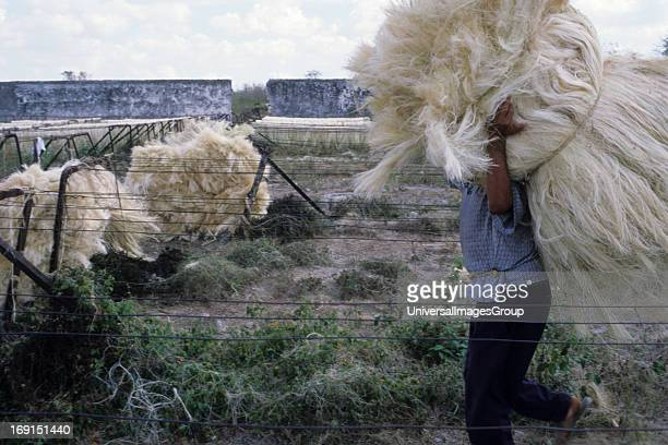 A laborer carries a bundle of hemp on a plantation in Chac Yucatan Mexico Not far from Merida