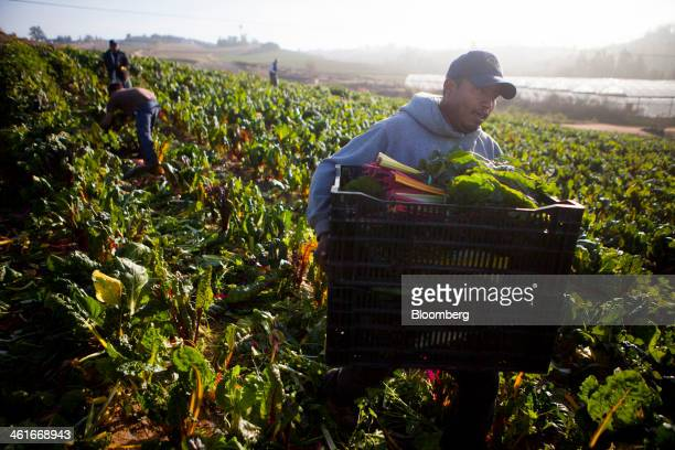 A laborer carries crates of chard at JR Organics Farm in Escondido California US on Thursday Jan 9 2014 A group of organic food producers and...