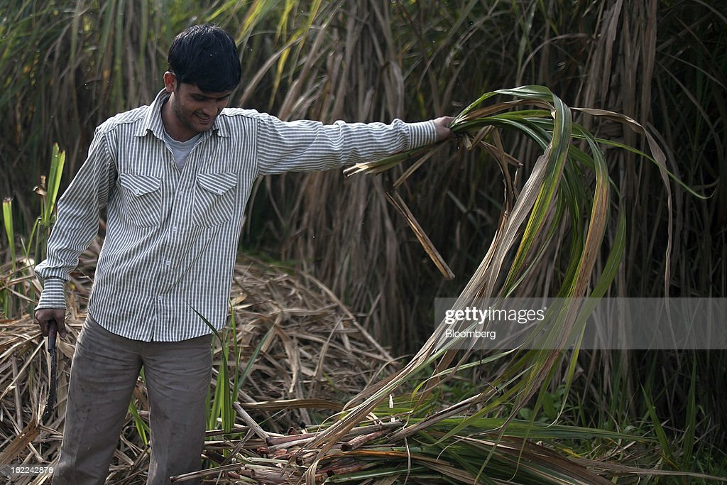 A laborer harvests sugarcane in a field in the outskirts of Modinagar, Uttar Pradesh, India, on Tuesday, Feb. 19, 2013. Mills in Uttar Pradesh state, set to be India's largest sugar producer in 2012-2013, may continue cane crushing until April 30, Uttar Pradesh Sugar Mills Association President C.B. Patodia said in a phone interview. Photographer: Prashanth Vishwanathan/Bloomberg via Getty Images