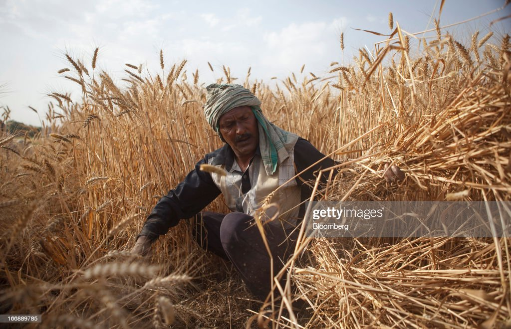 A laborer harvests wheat in the district of Jalandhar in Punjab, India, on Tuesday, April 16, 2013. Wheat harvest in India, the second-biggest grower, may reach a record for a sixth straight year after farmers increased use of high-yielding seeds and winter rains boosted crop prospects, a state-run researcher said. Photographer: Prashanth Vishwanathan/Bloomberg via Getty Images