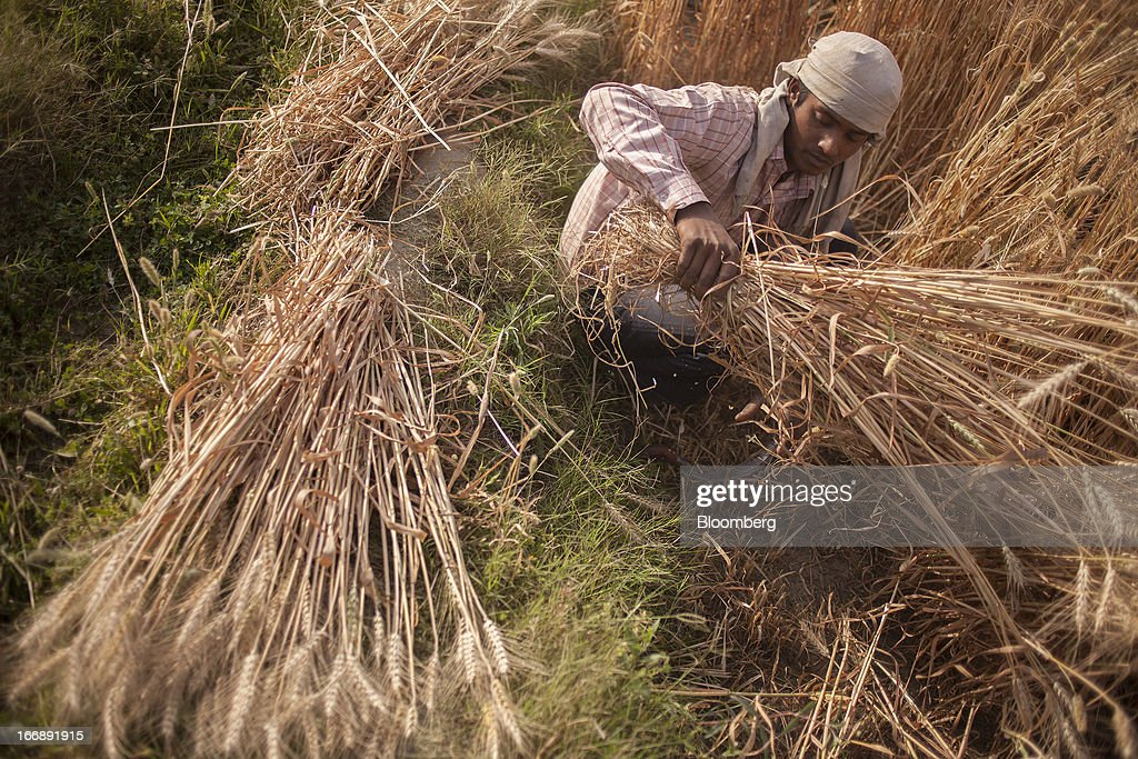 A laborer harvests wheat in the district of Jalandhar in Punjab, India, on Monday, April 15, 2013. Wheat harvest in India, the second-biggest grower, may reach a record for a sixth straight year after farmers increased use of high-yielding seeds and winter rains boosted crop prospects, a state-run researcher said. Photographer: Prashanth Vishwanathan/Bloomberg via Getty Images