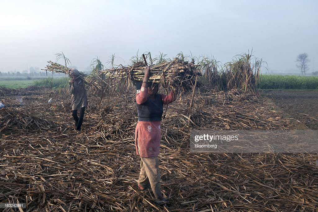Laborers carry bundles of harvested sugarcane in a field in the outskirts of Modinagar, Uttar Pradesh, India, on Tuesday, Feb. 19, 2013. Mills in Uttar Pradesh state, set to be India's largest sugar producer in 2012-2013, may continue cane crushing until April 30, Uttar Pradesh Sugar Mills Association President C.B. Patodia said in a phone interview. Photographer: Prashanth Vishwanathan/Bloomberg via Getty Images