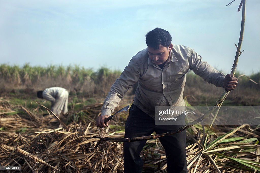 Laborers harvest sugarcane in a field in the outskirts of Modinagar, Uttar Pradesh, India, on Tuesday, Feb. 19, 2013. Mills in Uttar Pradesh state, set to be India's largest sugar producer in 2012-2013, may continue cane crushing until April 30, Uttar Pradesh Sugar Mills Association President C.B. Patodia said in a phone interview. Photographer: Prashanth Vishwanathan/Bloomberg via Getty Images