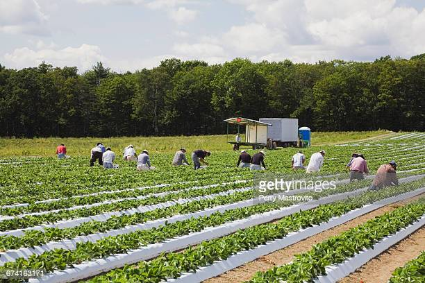 Laborers harvesting strawberries in a field
