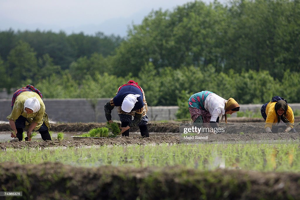Labourers sow rice in a paddy field on May 17, 2007 near Talesh, Northern-Western Iran. Rice in its various forms is the most consumed cereal, totalling a massive one-fifth of all calories consumed by the human race and is a staple in many parts of Asia. The biggest producers of rice, mainly grown in paddy fields are China, India and Indonesia.
