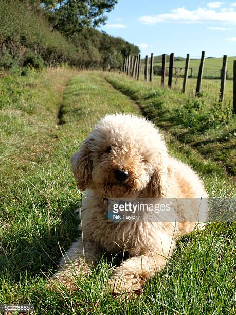 Labradoodle dog laying on grass