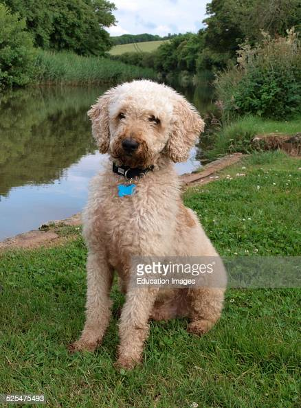 Labradoodle dog sat beside canal Bude Cornwall UK