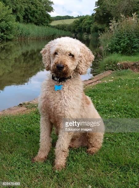 Labradoodle dog sat beside canal Bude Cornwall UK