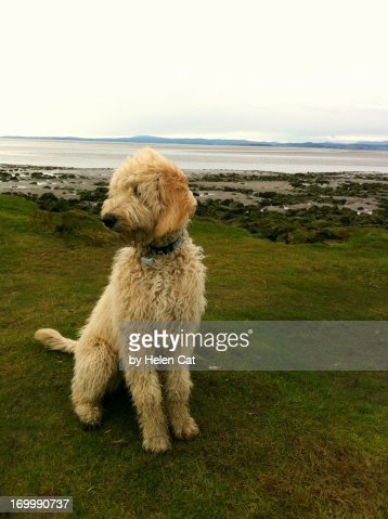 Labradoodle on the beach