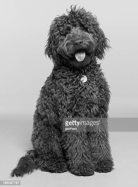 Labradoodle photographed sitting in the studio